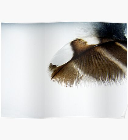 Barred Owl Feather Poster