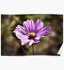 Cosmea Poster