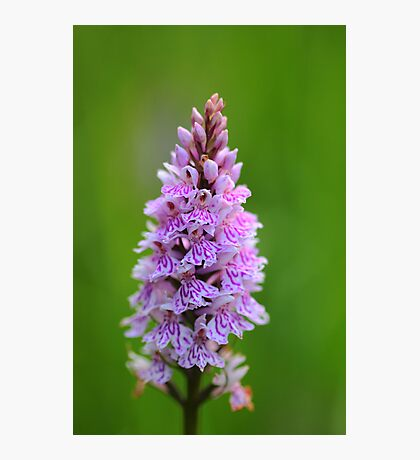 SPOTTED ORCHID (4) Photographic Print