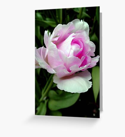 The beauty of a rose!!! © Greeting Card