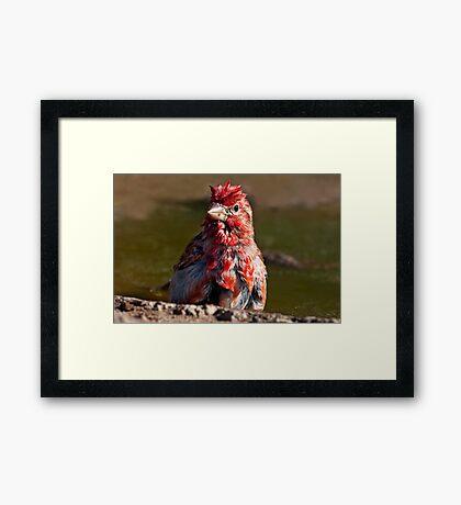 Little Red Rooster Framed Print