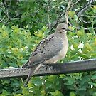 Juvenile Mourning Dove by Joann Barrack