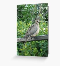 Juvenile Mourning Dove Greeting Card