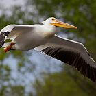 American White Pelican by Jeff Weymier