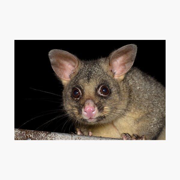 Common Brushtail Possum - Trichosurus vulpecula Photographic Print