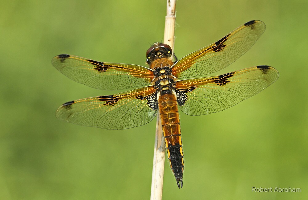 Splendid Wing Pattern by Robert Abraham