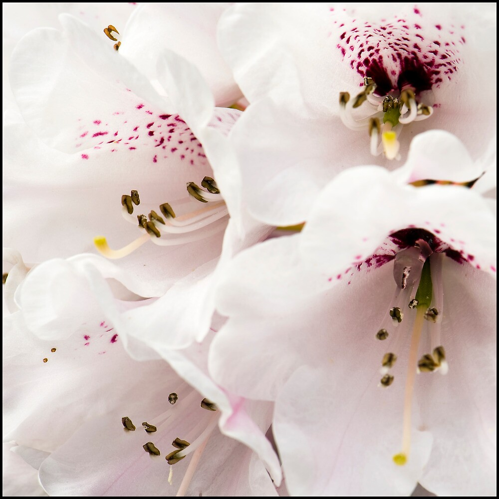 Rhododendrum Wightii by Barrie Kent