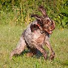 Spinone Hare by heidiannemorris