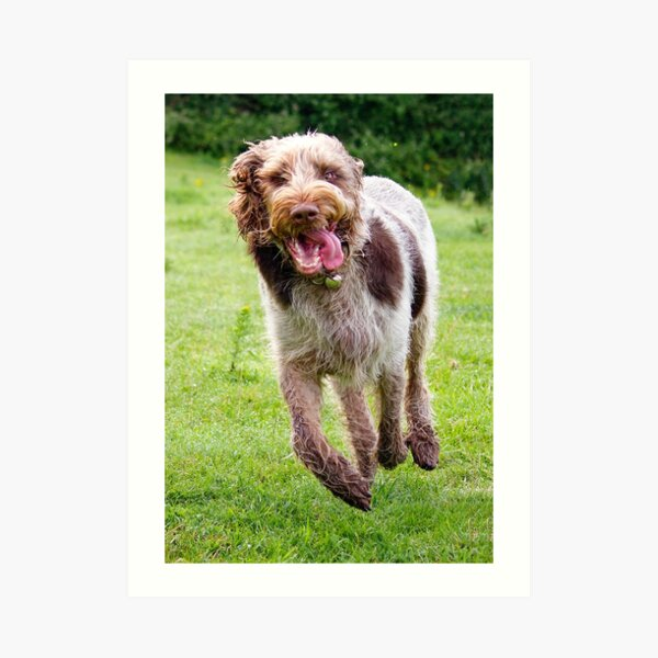 Four Feet Off The Ground Spinone Art Print