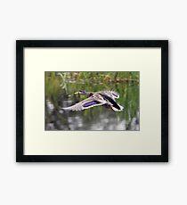 Duck Landing Framed Print