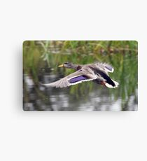 Duck Landing Canvas Print