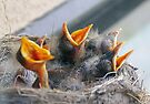 Baby Robins 3 by Debbie Pinard