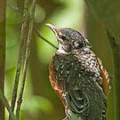 American Robin Fledgling (Turdus migratorius jr) by Mike Oxley