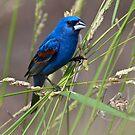 Blue Grosbeak in Habitat by Michael Mill