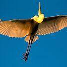 Great Egret  by Richard  Windeyer