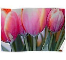 Red & pink tulips, by Brown Sugar. Views (579) Thank you very much ! Muchas gracias ! Большое спасибо ! Dziękuję !  Poster