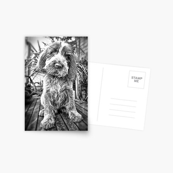 Sitting puppy Spinone Postcard