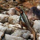 Tawny Rock Dragon by Steve Sass by EnviroKey