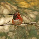 Rufous Kolibri-Fotografie von Peggy Collins