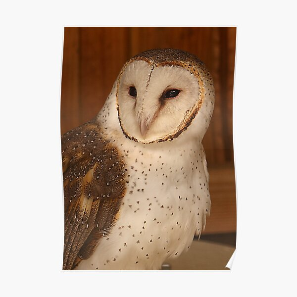 Masked (Barn) Owl Poster