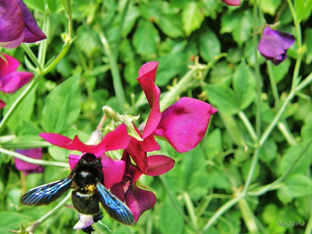 A Giant Bee Sits on a Sweetpea by MaggieO