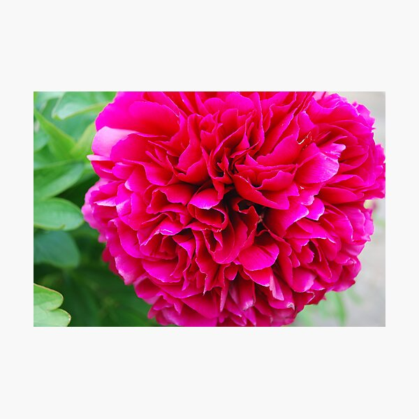 Fuchsia Pink Peony Photographic Print