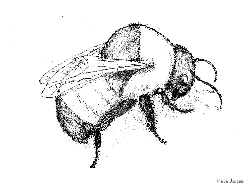 Bumblebee sketch, Drawing Day 2011 by Pete Janes