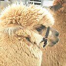 Staffordshire County Show - Alpaca by karenkirkham