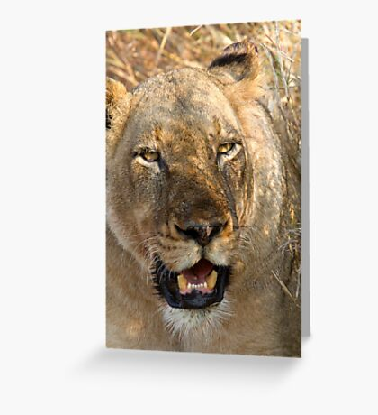 Lioness At Rest Greeting Card