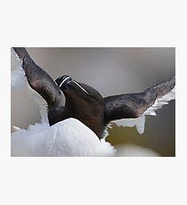 Razorbill, Saltee Islands, County Wexford, Ireland Photographic Print