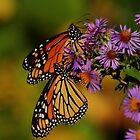 Monarchs on New England Aster   by Kane Slater