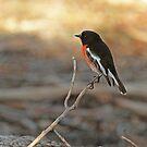 Adult Scarlet Robin by Robert Abraham