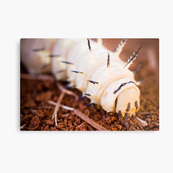 African Caterpillar Metal Print