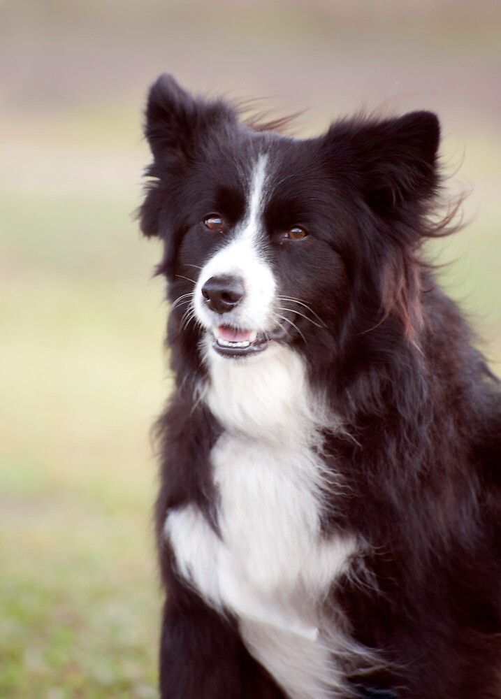Quot Smiley Face Border Collie Quot By Jenny Dean Redbubble