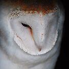 Barn Owl by Paul Gibbons
