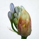 The flower of Agapanthus is going to come out by acquart