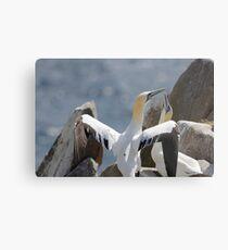 Welcome home, gannets, Saltee Island, County Wexford, Ireland Metal Print