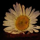 Oxeye Daisy  by Megan Noble