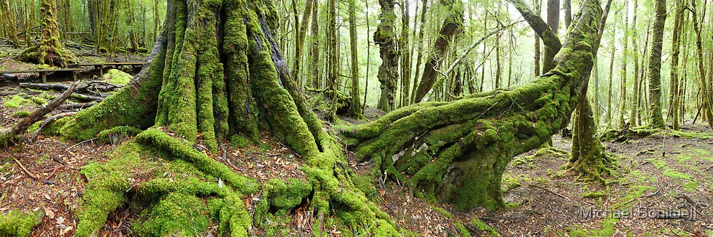 Mossy Myrtle Forest, Cradle Mountain, Tasmania by Michael Boniwell