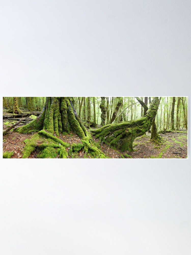 Alternate view of Mossy Myrtle Forest, Cradle Mountain, Tasmania Poster