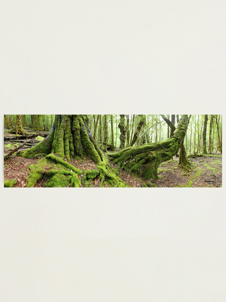 Alternate view of Mossy Myrtle Forest, Cradle Mountain, Tasmania Photographic Print