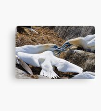 Territorial tussle, gannets fighting, Saltee Island, County Wexford, Ireland Canvas Print