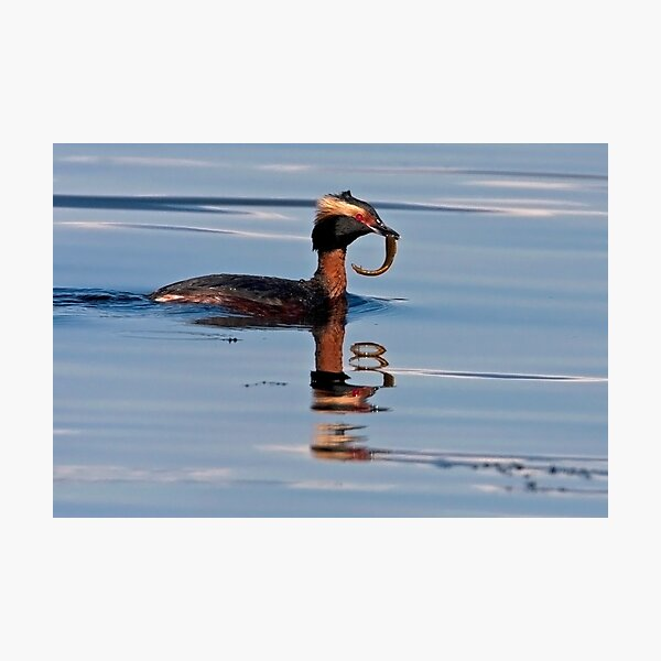 Horned Grebe Reflections Photographic Print