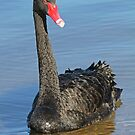 Portrait Of A Black Swan by Robert Abraham