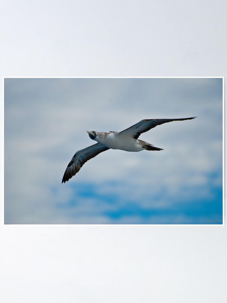 Alternate view of Seagull in Flight Poster