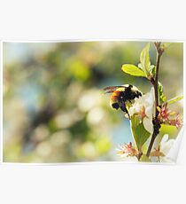 Cherry Blossoms and the Bumble Bee Poster