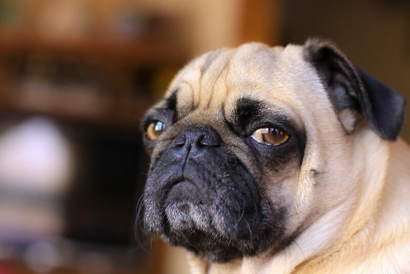 """Pug dog snarl."" by Edward Mahala | Redbubble"