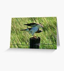 Swainsons Hawk flexing wings Greeting Card