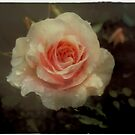Old fashioned pink rose by Karen  Betts