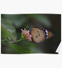 Plain Tiger Butterfly Poster